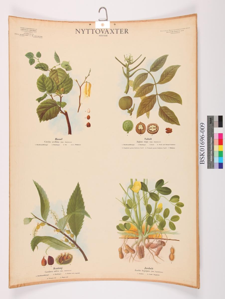 Frukt og blad fra hassel, valnøtt, kastanje og jordnøtt