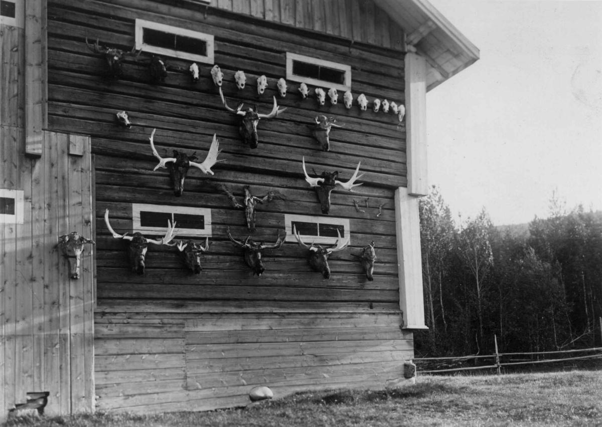 Jakttrofeer, gevir (antatt elg) og hodeskaller, festet til uthusvegg, ukjent sted. Serie fotografert av Robert Collett (1842-1913), amatørfotograf og professor i zoologi.
