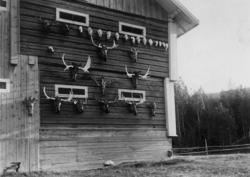 Jakttrofeer, gevir (antatt elg) og hodeskaller, festet til u