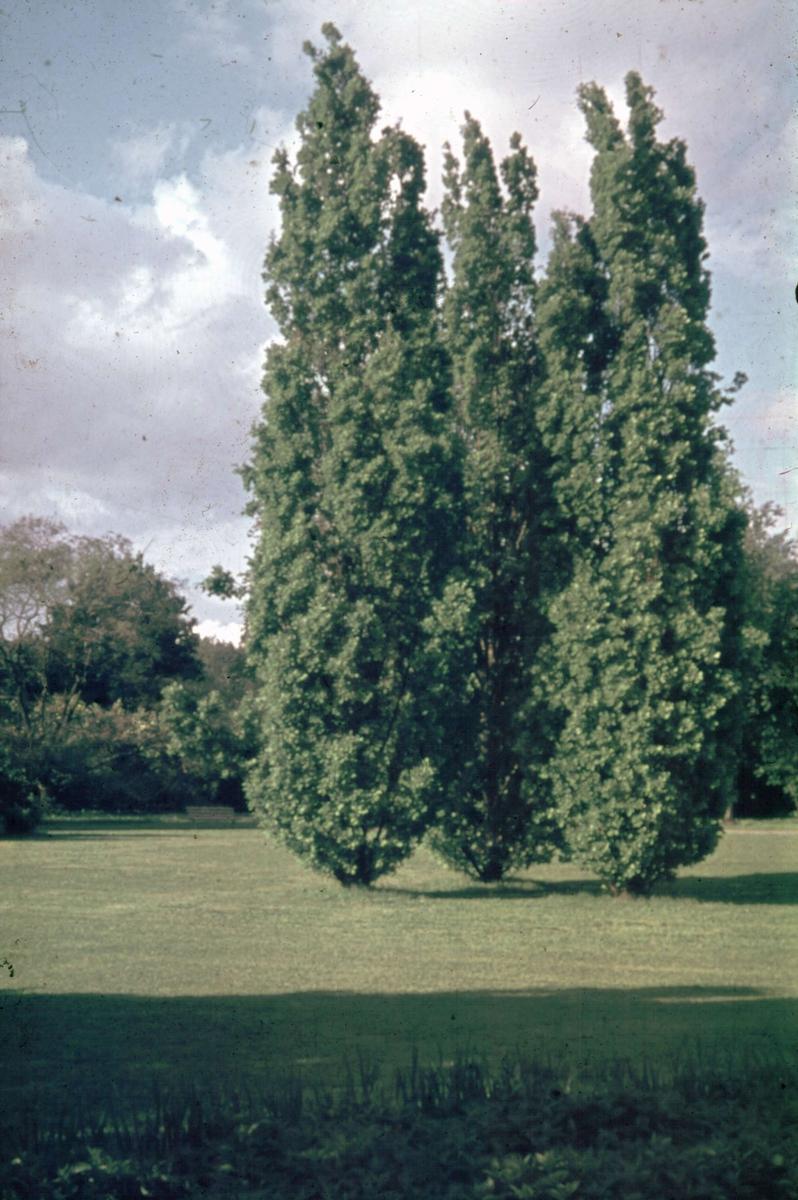 Träd i park, Uppsala 1945 - 1950