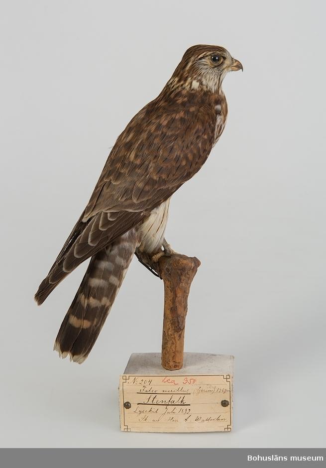 Subadult hane (2K). Lysekil juli 1892. Skänkt av Herr A. Wallentin.  Ur handskrivna katalogen 1957-1958: Stenfalk