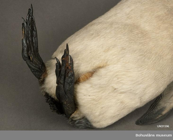 """Skinnlagd fågel, troligen fylld med linblånor och bomullsvadd. Vänster vinge saknas. Varje fot är sammansydd, kanske för att tårna inte ska spreta isär. Del av läderhuden saknas på vänster fots insida.  I en tryckt redogörelse """"Museum för Bohus Län 1861"""" finns en förteckning över Musei-föreningens medlemmars gåvor och bidrag där följande uppgifter finns att hämta: Hedberg, J., Fru, Uddevalla: 2 fossila tänder, 2 hval-fenor, 2 pingvin-skinn, 2 koraller, en kokosnöt, en ödla, en skorpion, mynt m.m. I samlingarna har länge funnits två omärkta skinnlagda pingvinskinn utan uppgifter. Inför 150-årsfirandet av museets/samlingarnas tillkomst har vi diskuterat oss fram till att det med största sannolikhet bör vara dessa två skinn (UM31596 och UM31597) som år 1861 skänktes av fru J. Hedberg.  Kan det vara Olof Hilmer Hedbergs mor Johanna Maria Winding, gift med handelsman Anders J:son Hedberg, Uddevalla, som skänkt föremålen? Sonen Hilmer Hedberg (1817-1884) emigrerade till Australien år 1838. Se UM000701, UM000728, UM000729 med flera."""