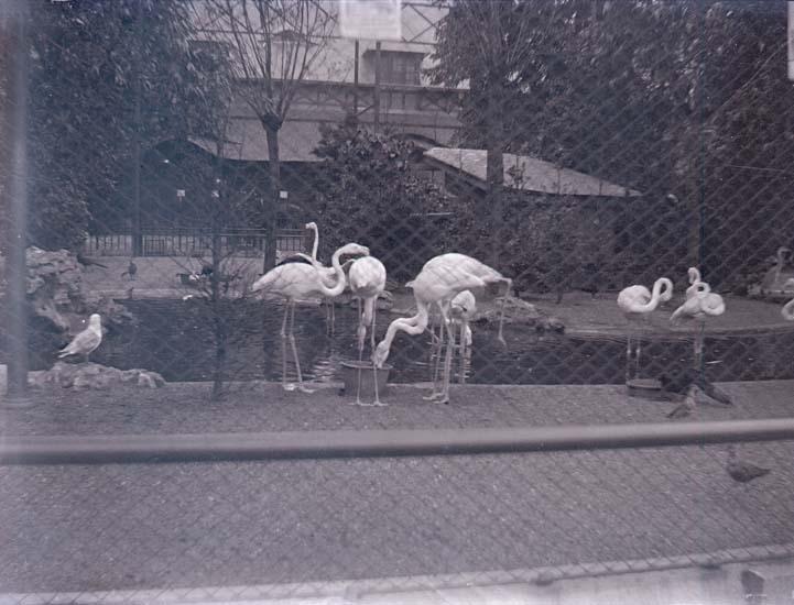 """Enligt text som medföljde bilden: """"Belgien. Antwerpen Flamingos i Zoologiska Trädgården."""""""