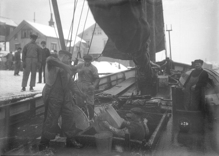 Lossning av sill på Smögen 1924