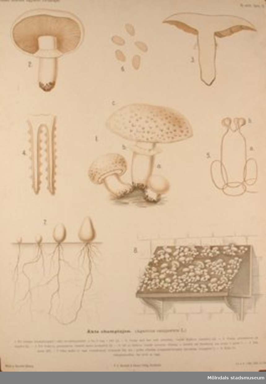Biologi.Äkta champinjon.Målat av Henrietta Sjöberg.J. Eriksson. Botaniska väggtavlor. 2:a upplagan.Lit. o. tr. i Gen. stab. lit. anst.