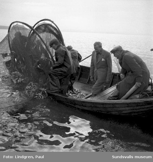Landshövdingen  på strömmingsfiske, Lörudden.