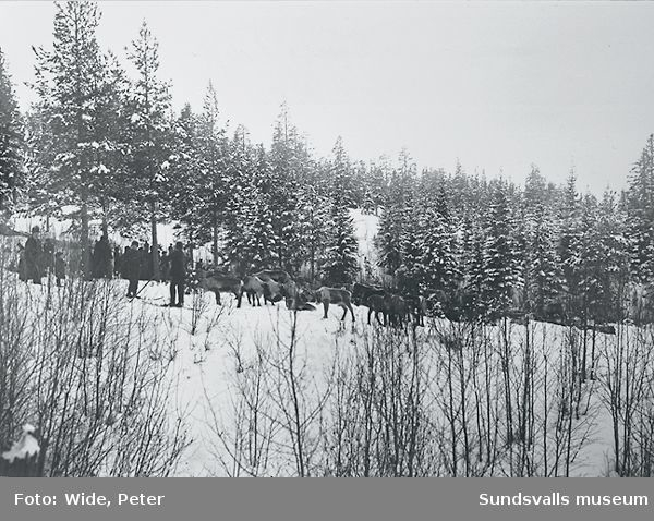 Sameläger med renar vid Sidsjö.