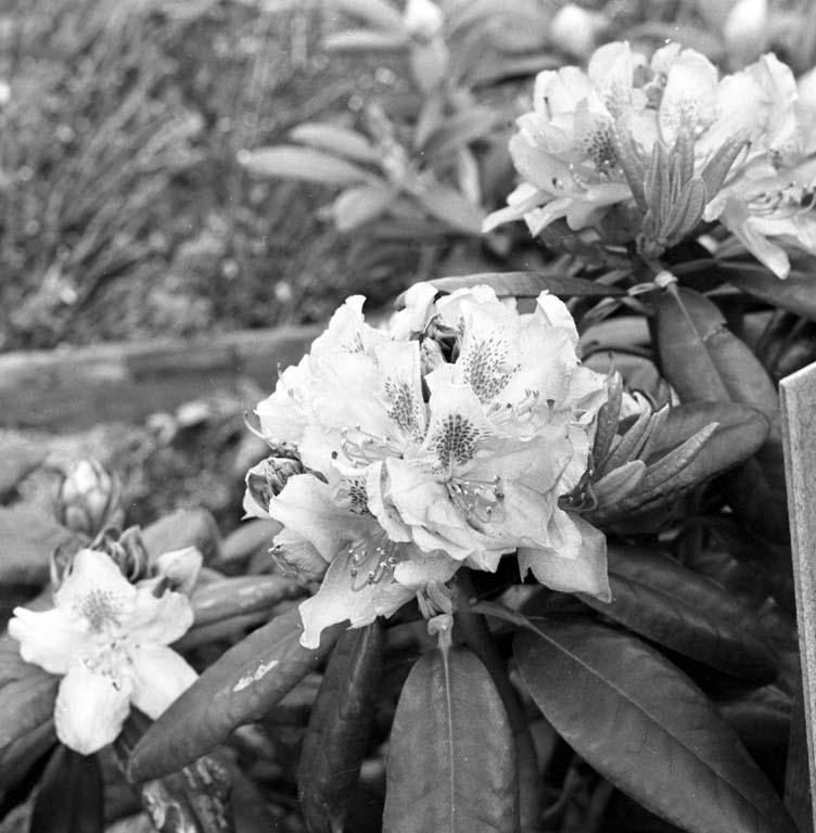 """Enligt notering: """"Blommor Handelsträdgård 28/5 -60""""."""
