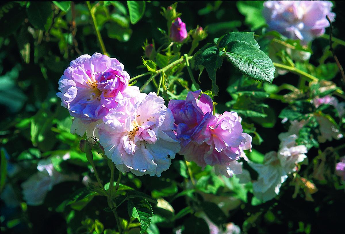 Rose (Foto/Photo)