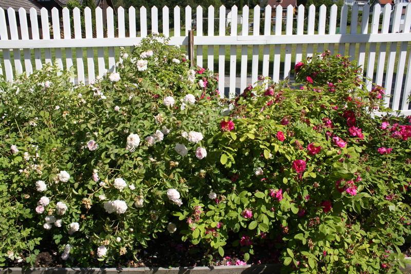 Til venstre den lys rosa rosen Gunhild el Widmark og til høyre den karminrøde Great Western. (Foto/Photo)