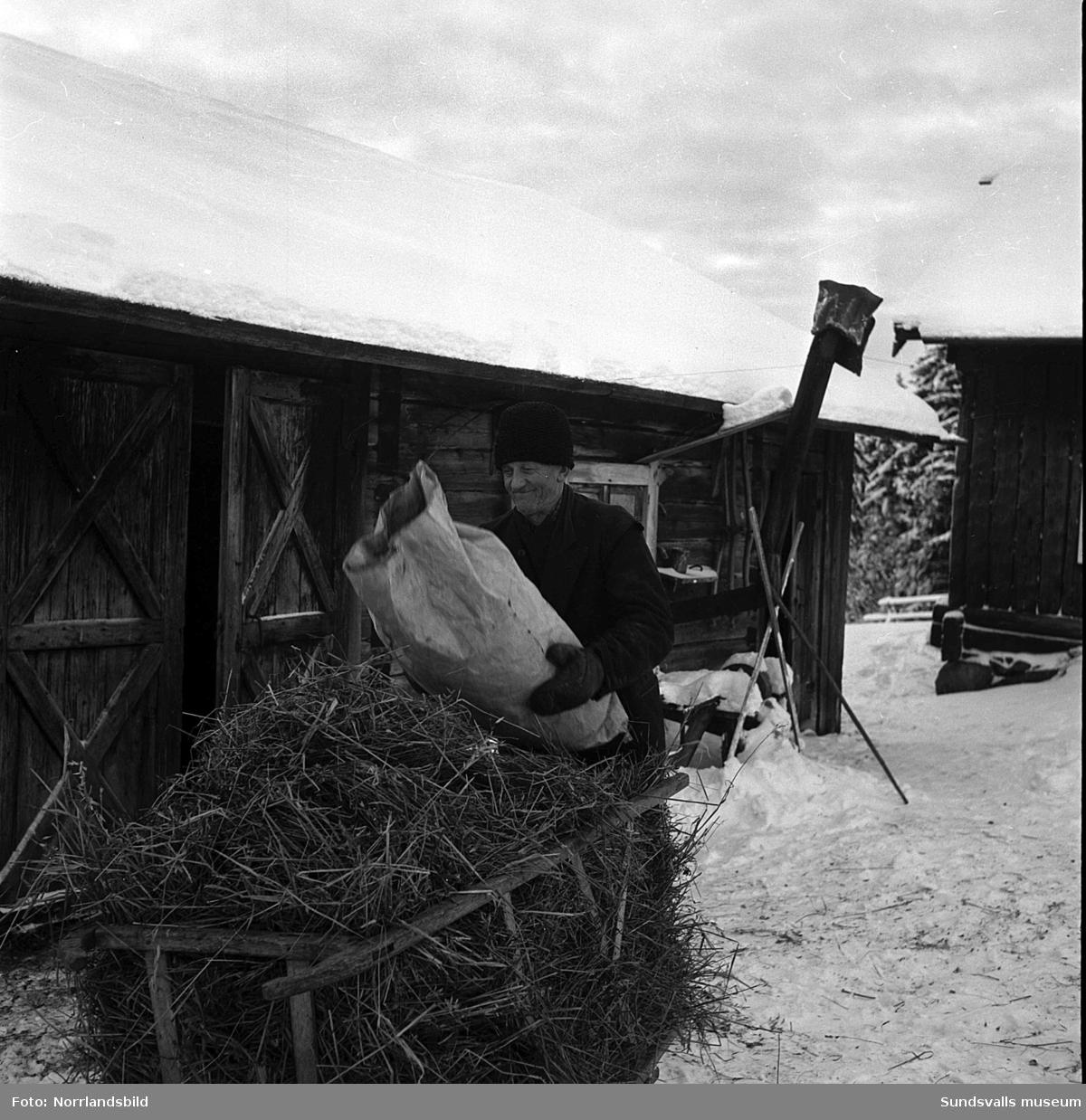 """Reportagebilder från den oskiftade byn Brödlösa i Kovland. En av hemmansägarna i den lilla byn är Ferdinand Byström som har fullt upp med timmerkörning, snöskottning och utfodring av djuren. På den första bilden är det Karin Johansson som visar upp en slaktad tupp och om den bilden står att läsa i Dagbladet 10 januari 1951: """"Jättetuppen av helig indisk ras blir som en julskinka i grytan, påstår Karin Johansson. Dödsdomen över tuppen avkunnades och verkställdes av mamma Jenny, sedan hon ertappat honom på bar gärning med att trampa ihjäl en höna. Död åt tyranniska karlar av vad kulör de vara månde."""""""