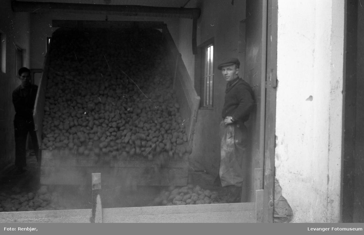Potet-tørkeriet, Levanger, potetene losses.