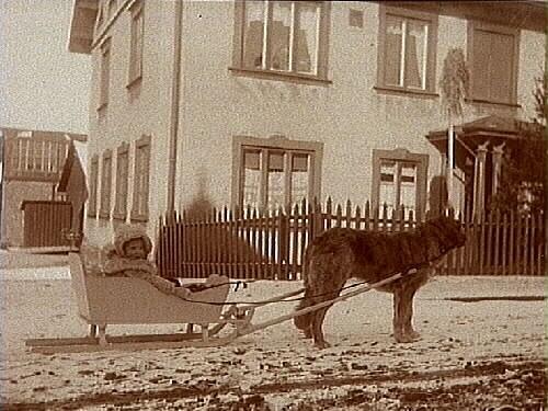 Hunden Björn med släde och en liten flicka i släden, utanför ett hus.Maj Thermaenius