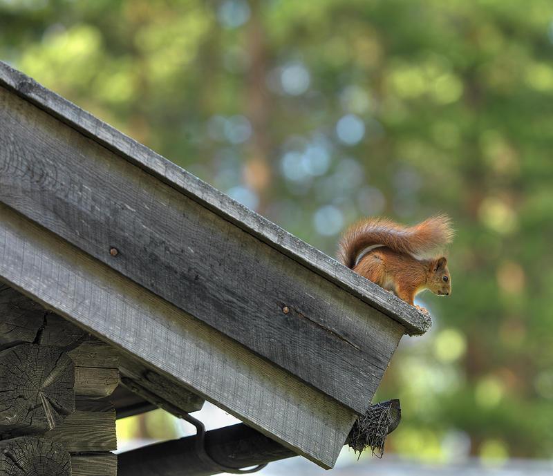 Ekorn på hustaket. Foto/Photo