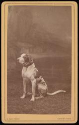 Visittkortportrett av hunden Prasto.
