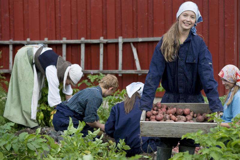 en gruppe ungdom tar opp poteter i Friluftsmuseet