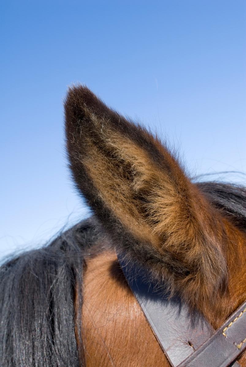 Øre på hest