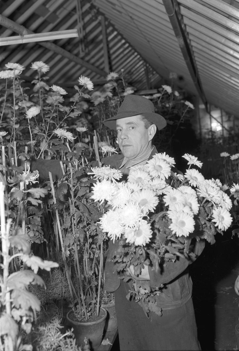 Uppsvenska plant- och trädgårdsskola. December 1948. Reportage för Arbetarbladet.