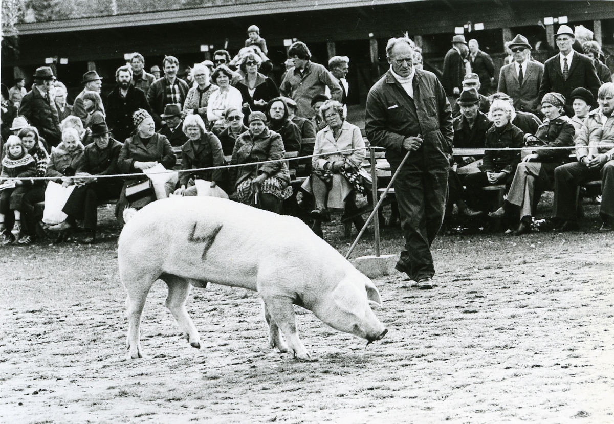 Ole Island frå Siljan mønstrar gris.