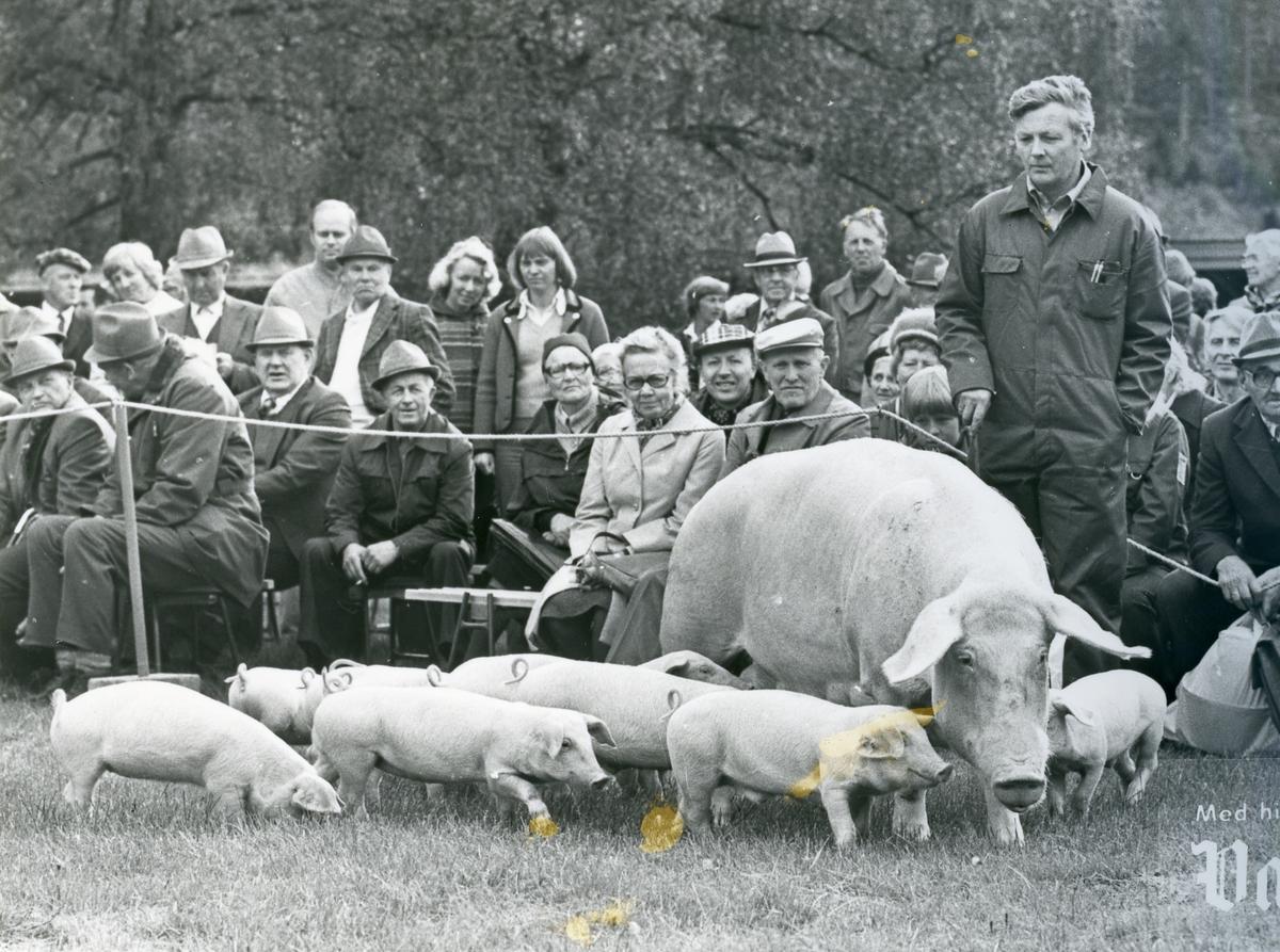 Asbjørn Nordbø mønstrar gris.
