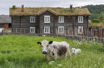 Ku og kalv på beite. Fløttdag på Dølmotunet i Tolga 18/6 2016.