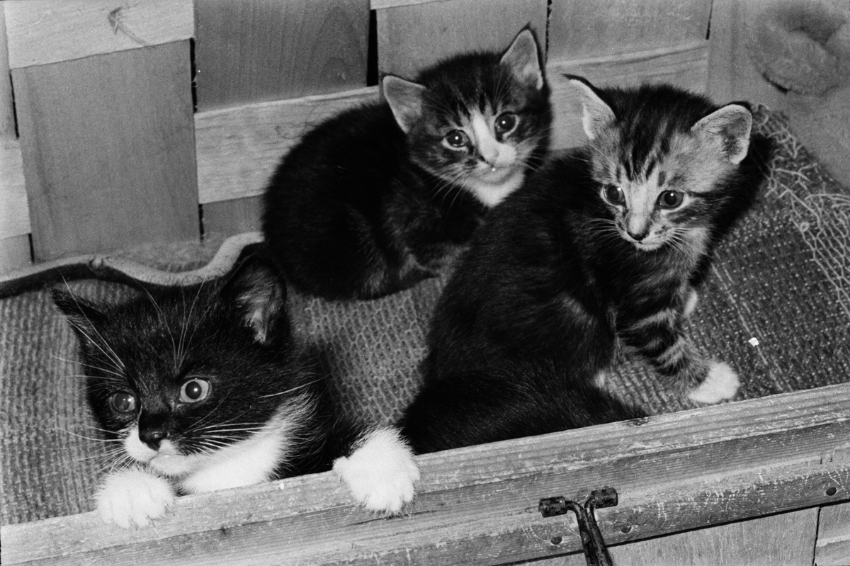 Kattungar, Riala, april 1967