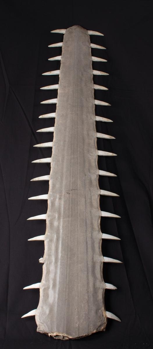 Sagtannet snute fra sagrokke, med tenner på hver side, tilsammen 32 stk.