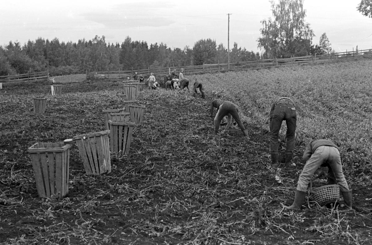 Potetplukking,traktor,potetplukkere, ukjent sted.