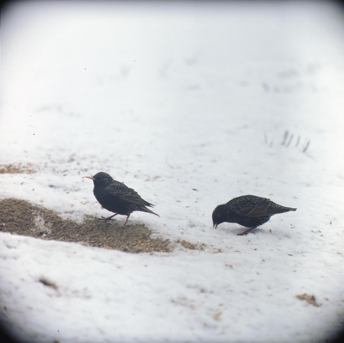 Två starar äter fågelfrön som ligger i snön.
