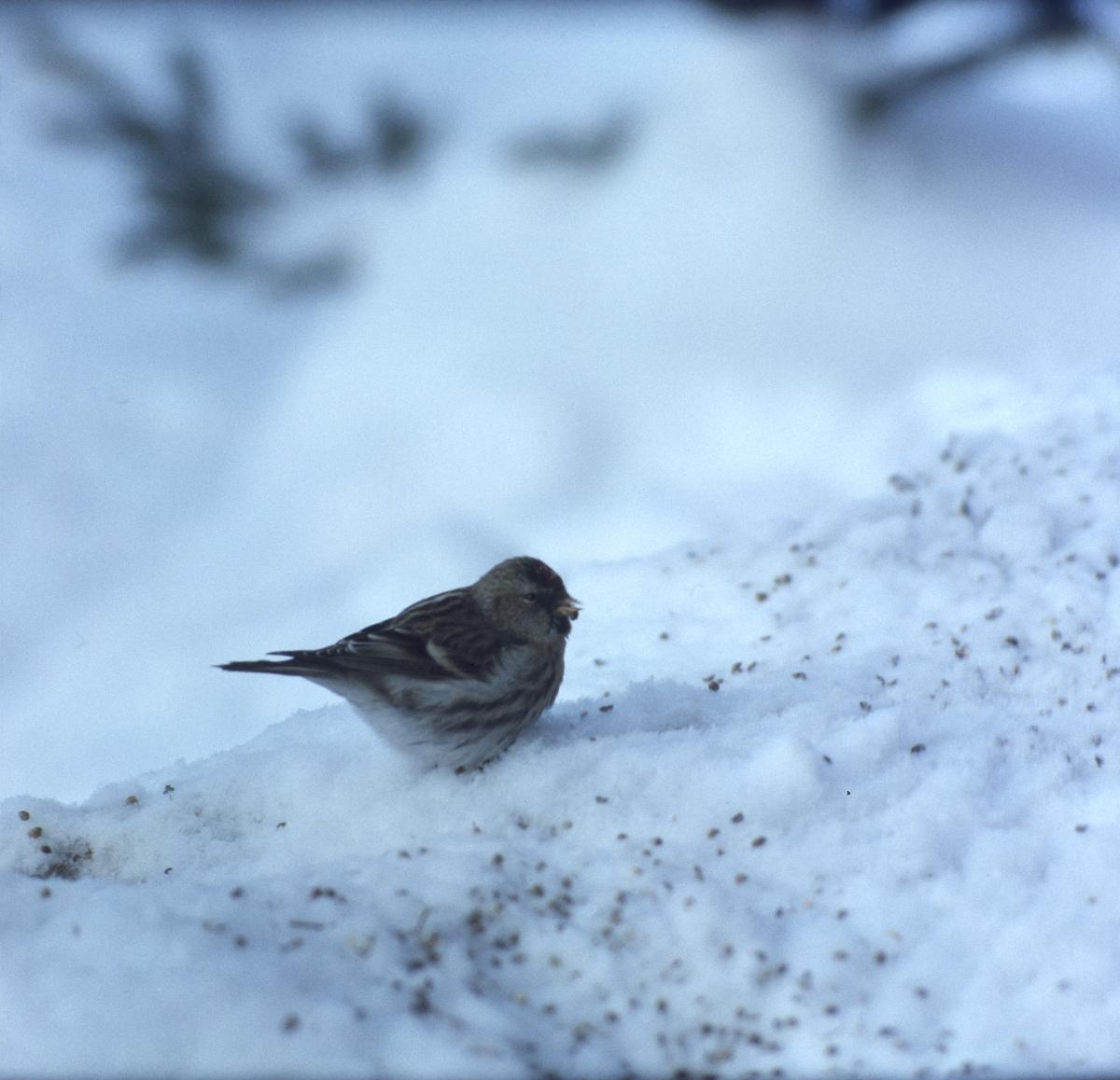 En gråsiska sitter på marken i snön och äter frön.