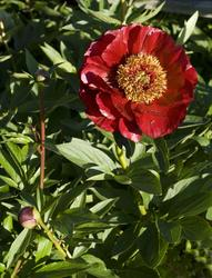 Blommor. Blommande plantor från Örtagården och köksträdgårde