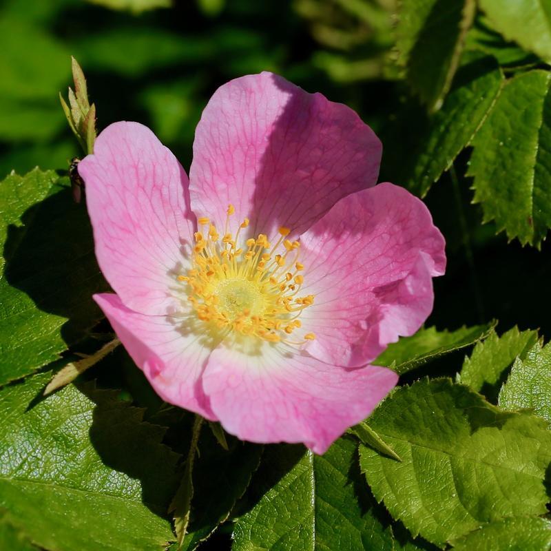 Utsprungen rosa blomst med fem kronblader og gul kjerne. Grønne blader rundt.