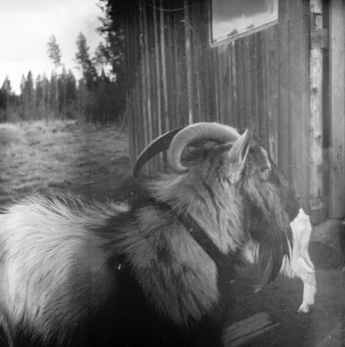Elin och Holger småbrukare Björnbacken Oktober 1972
