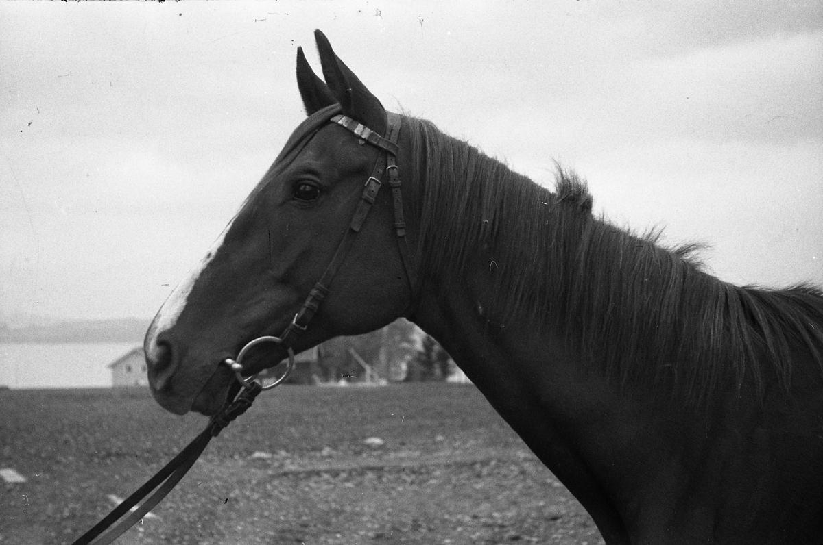 Hest og offiser ved Hærens Hesteskole på Starum. Serie på 12 bilder der de fem første viser bare hesten, de seks neste også med offiseren som antas å være plasskommandanten major Bjart Ording, mens det siste viser bare hesten, sett bakfra.