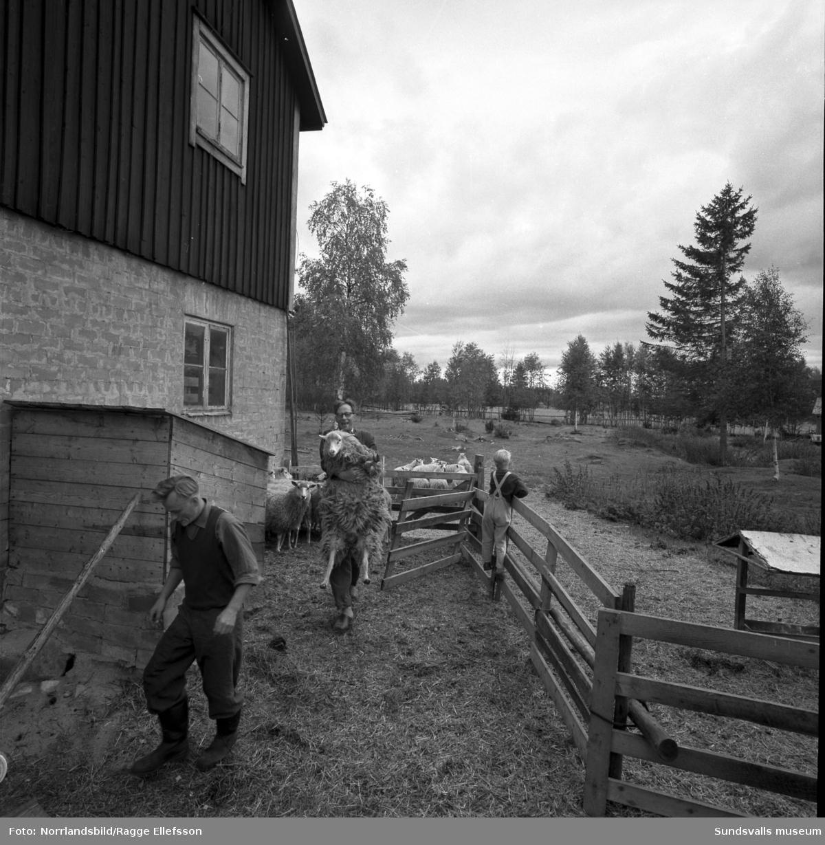 Folkskollärare Gunnar Tjernbergs lantgård i Slätt, Ovansjö, Njurunda. En flock får hanteras, bland annat så vägs en tacka, och här fanns även häst och hund. En av bilderna visar Tjernbergs yrkesroll som lärare i klassrummet och på en annan är han i skogen med yxan i högsta hugg.
