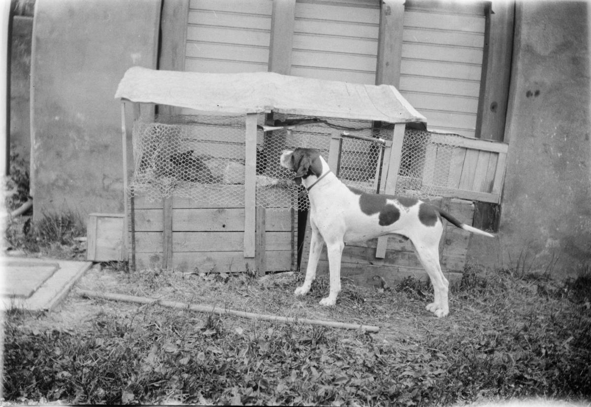 Hunden Jens og kaniner.