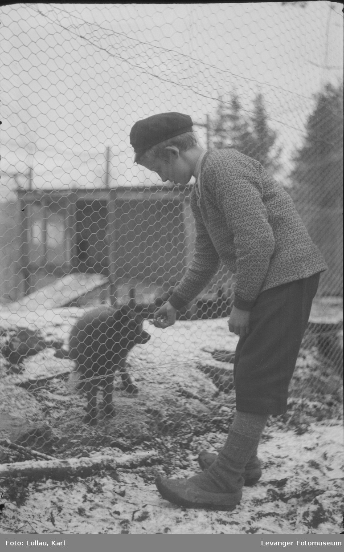 Revefarm  av tidlig type før det ble vanlig med bur, dyra gikk løse i innhengning.