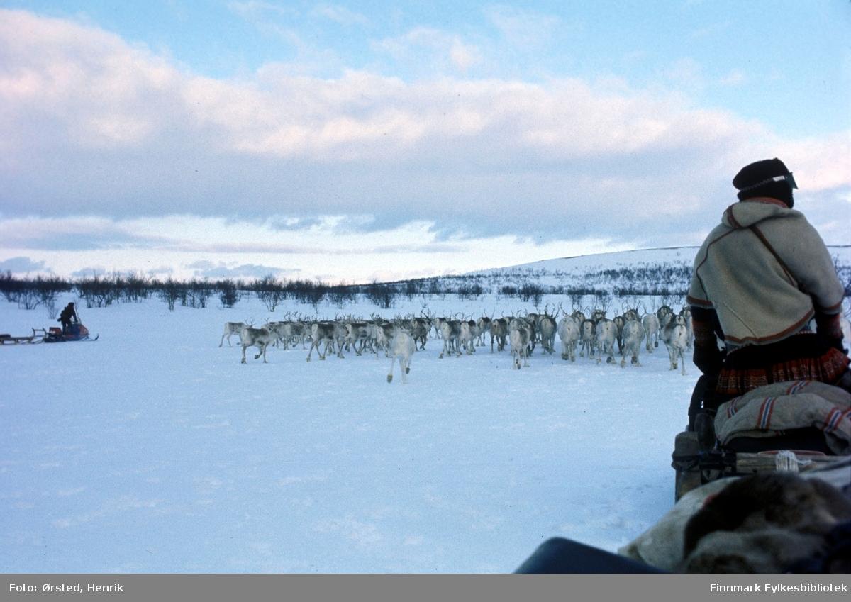 """Postfører Mathis Mathisen Buljo, bedre kjent som """"Post-Mathis"""" i samiske kretser, har kommet frem med post til reindriftssamer som er i arbeid ute på Finnmarksvidda. Reinflokken er i bevegelse foran skuteren.  Fotograf Henrik Ørsteds bilder er tatt langs den 30 mil lange postruta som strakk seg fra Mieronjavre poståpneri til Náhpolsáiva, videre til Bavtajohka, innover til øvre Anárjohka nasjonalpark som grenser til Finland – og ruta dekket nærmere 30 reindriftsenheter. Ørsted fulgte «Post-Mathis», Mathis Mathisen Buljo som dekket et imponerende område med omtrent 30.000 dyr og reingjetere som stadig var ute i terrenget og i forflytning. Dette var landets lengste postrute og postlevering under krevende vær- og føreforhold var beregnet til 2 dager. Bildene gir et unikt innblikk i samisk reindriftskultur på 1970-tallet. Fotograf Henrik Ørsted har donert ca. 1800 negativer og lysbilder til Finnmark Fylkesbibliotek i 2010."""