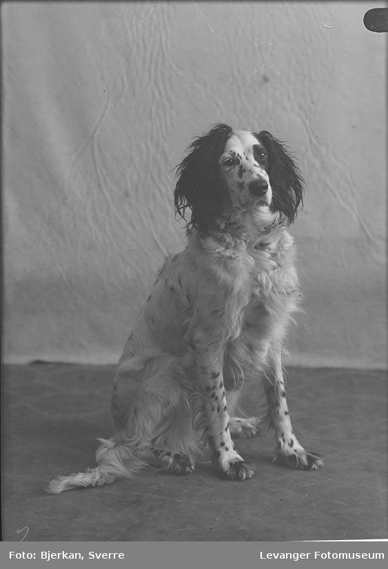 Portrett av en engelsk setter. Det er Ertsås Hund navn ukjent