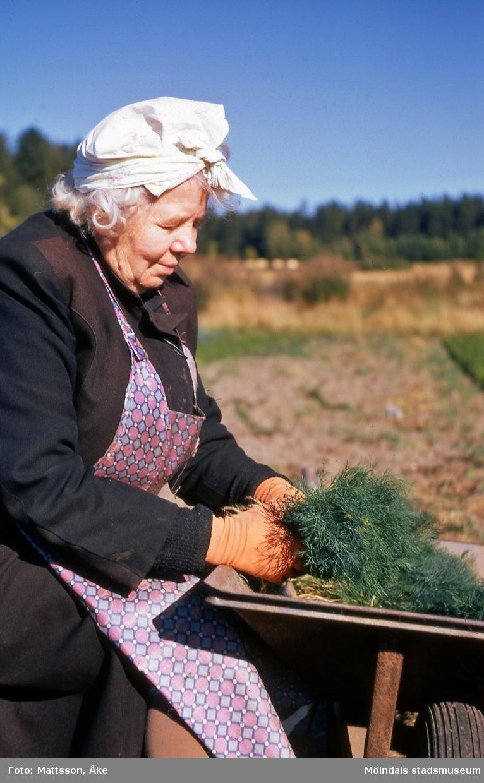 Ester Johansson buntar dill på Gökegården 1 i Eklanda, Mölndal, på 1960-talet.