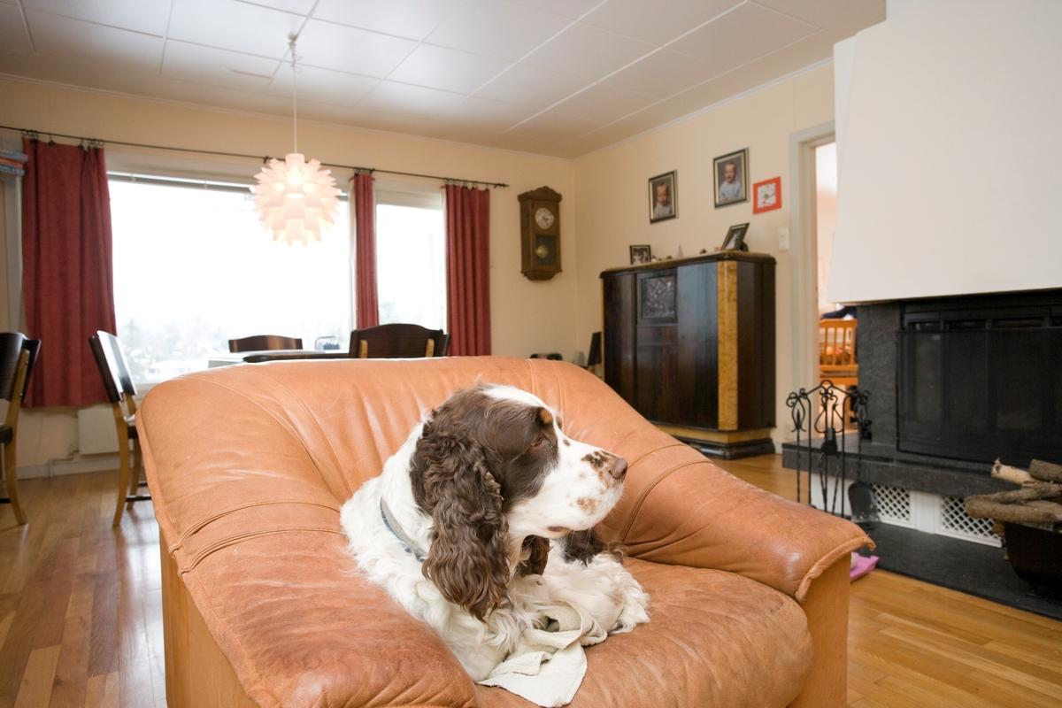 Hunden Balder koser seg i sin stol i stuen.