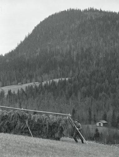 En man hässjar hö. I bakgrunden ett högt, skogsklätt berg, Västerstråsjö 31 januari 1952.