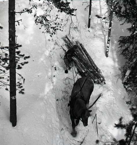 Timmerkörning vid Körsåsklippan, släpning, 2 februari 1954.