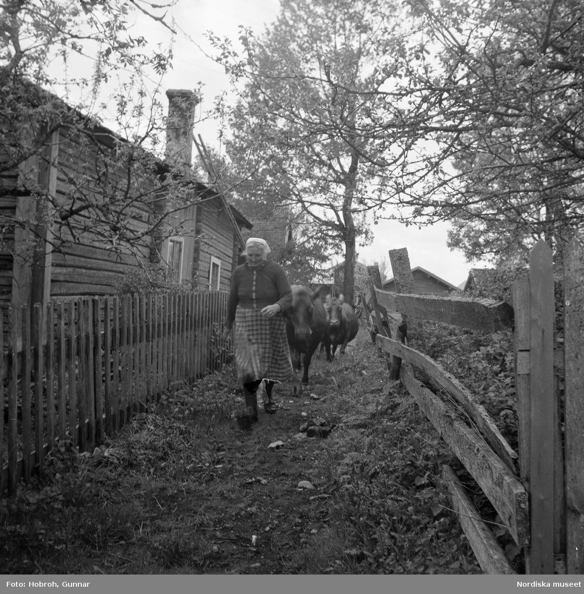 """""""Svärds Anna Olssons kor föras ut på bete i hemskogen av henne själv. Hennes kor heta Jänta /skällkon/ Rö-linn, Gullan och Docka. Det är andra dagen för året som de är ute /vid pingst/.Hon föser med dem ut i skogen och är hos dem första dagarna där, och de tas hem dagligen. Hon medför en läderväska i rem på axeln med mat för dagen.""""  På bilden är de på väg längs med byns fägata."""