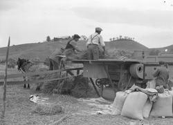 Tresking av korn ved Leira