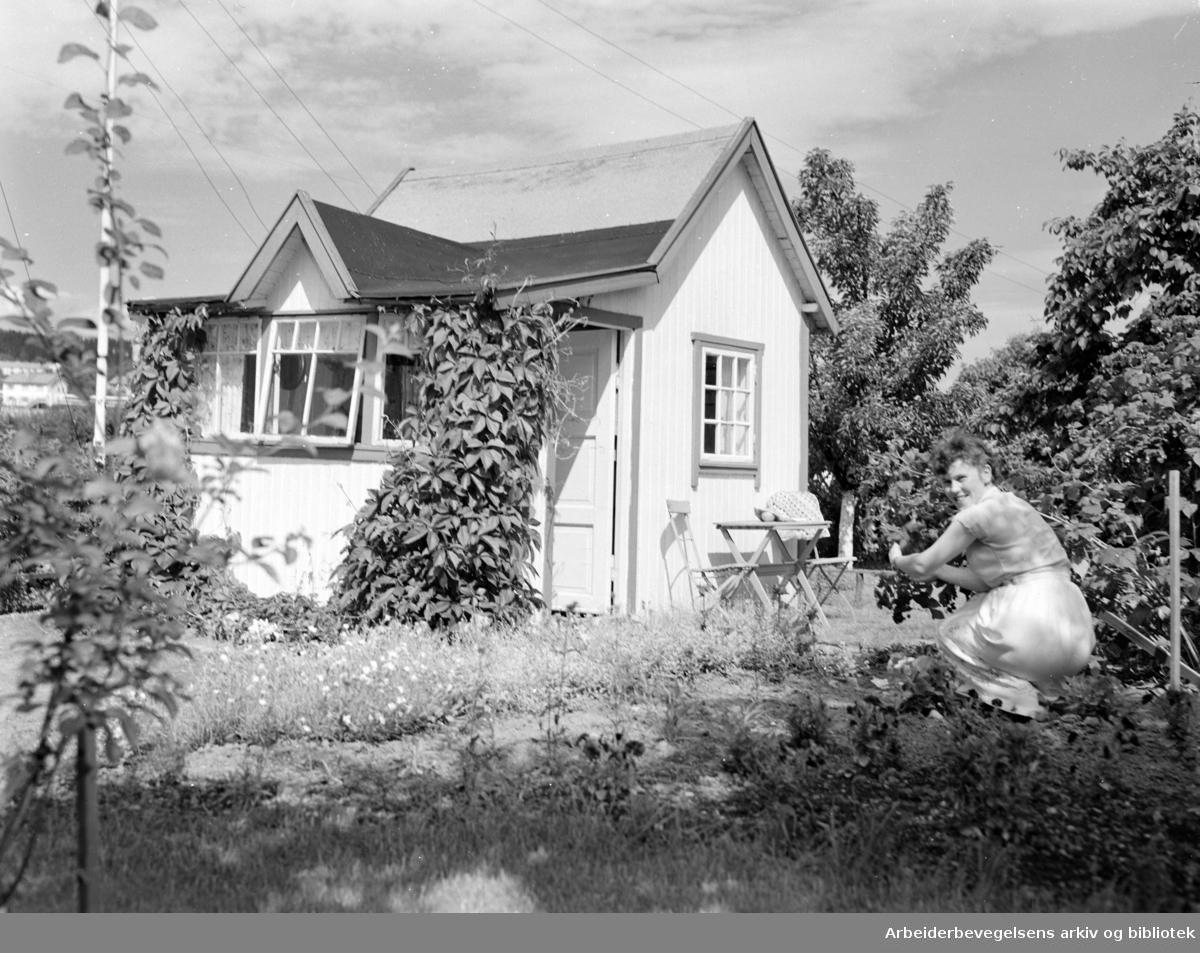 Hjemmets Kolonihage på Bjølsen. Juli 1954