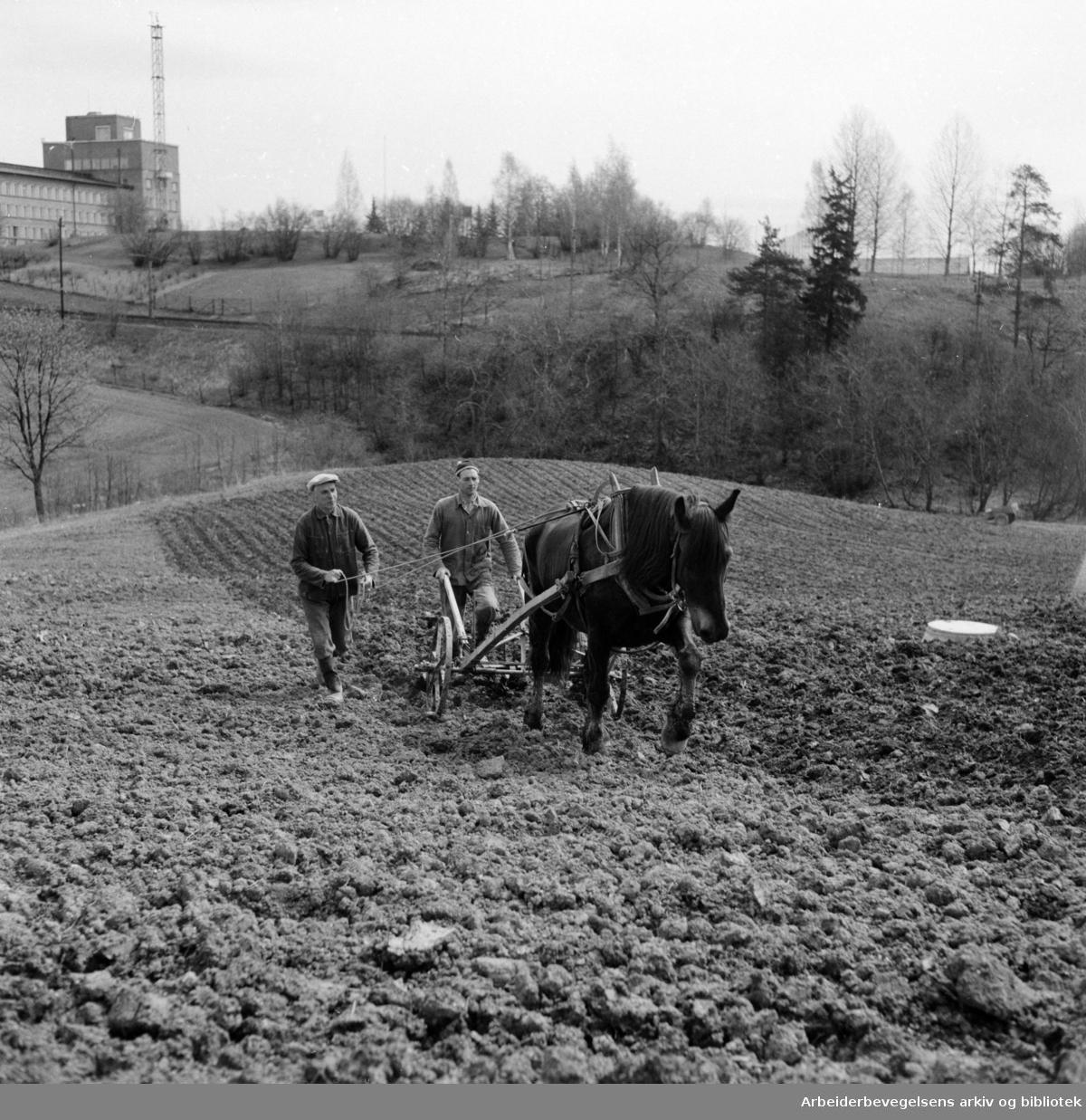 Gaustad Gård. Våronna. Mai 1955