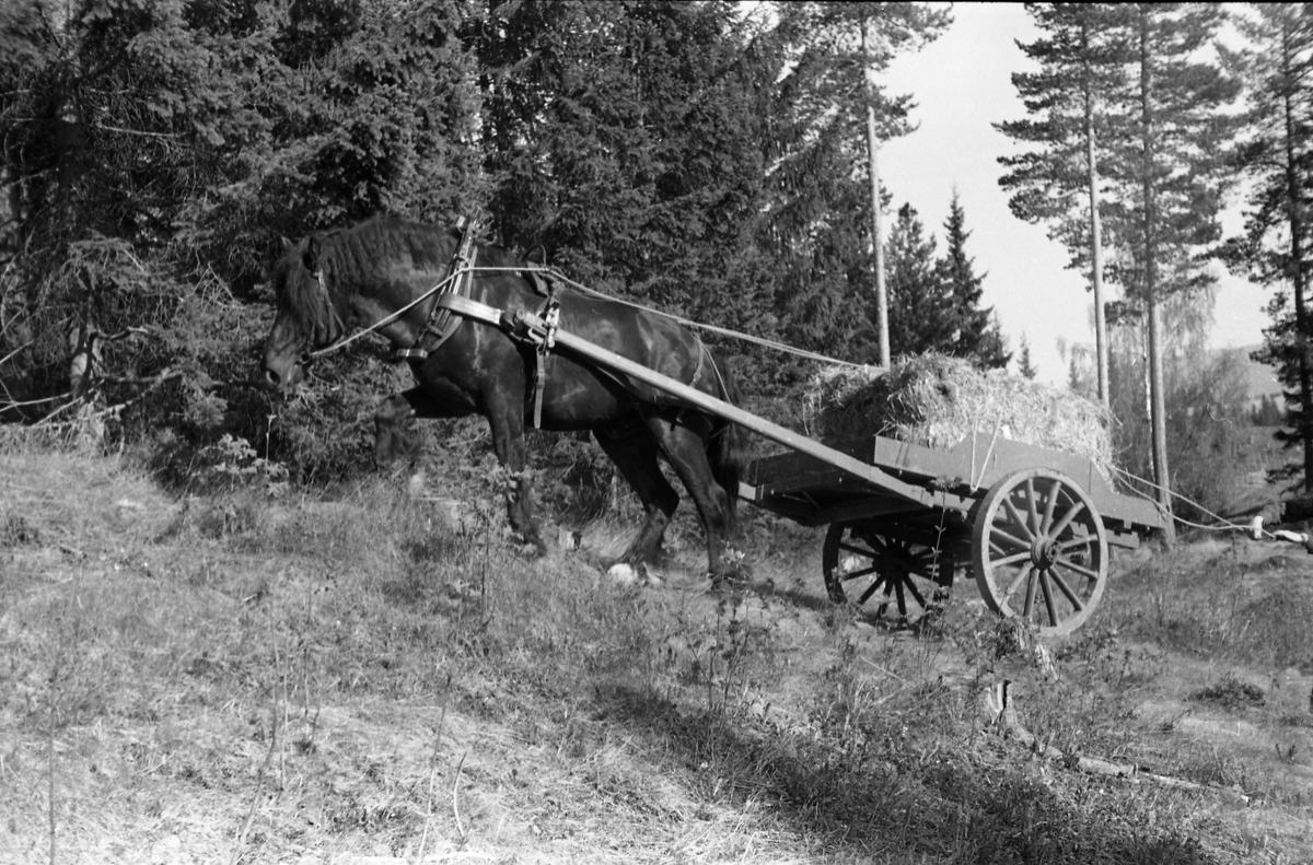 Kjøring med hest og kjerre, lastet med halmbunter, i terreng sannsynligvis ved Hærens Hesteskole på Starum. Seks bilder, mai 1953.