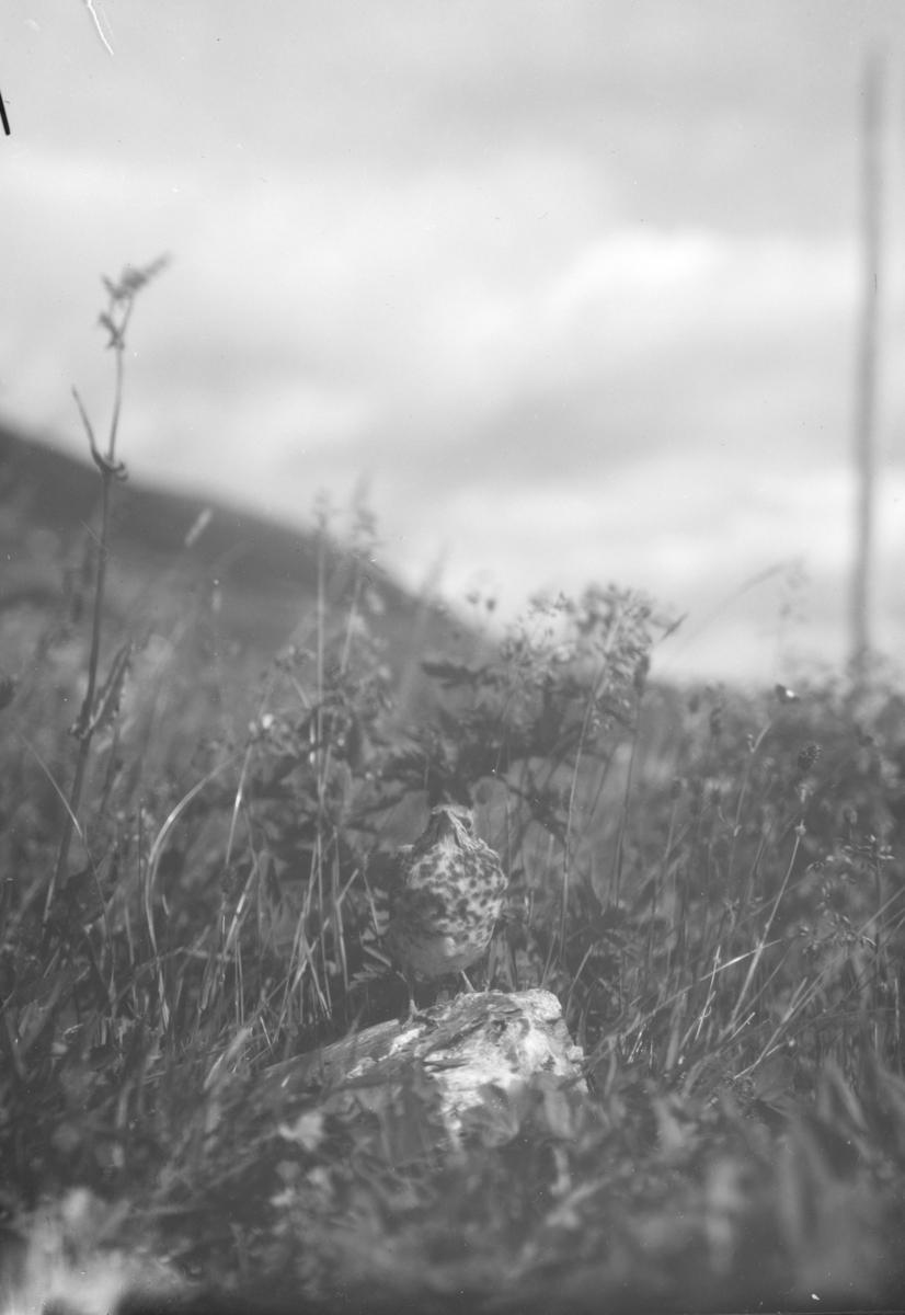 Trost som står på en stein