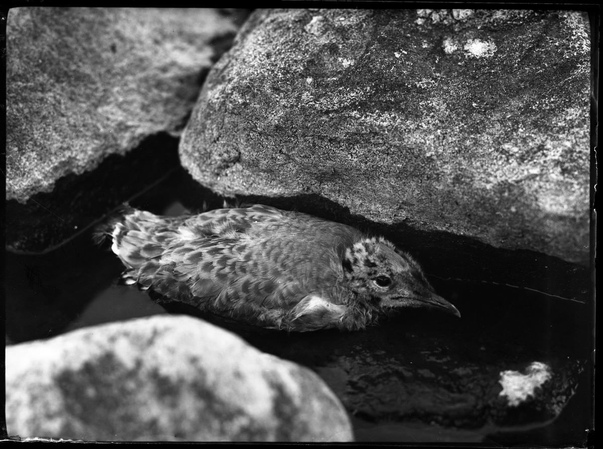 En trutunge i vattnet mellan stenar.